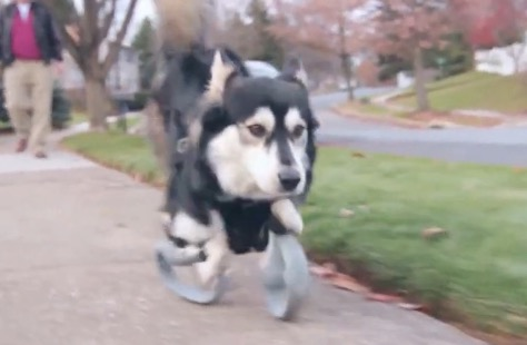 小狗的义肢  Derby the dog - Running on 3D Printed Prosthetics